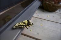 アゲハ蝶さま。台風です。